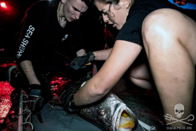 Sea Shepherd crew saves totoaba